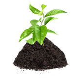 Green plant of citrus in a mound of ground Stock Images