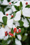 Green plant covered in snow. Closeup of a green plant covered in snow with red fruit stock images