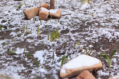 Green plant covered in snow with rocks Royalty Free Stock Images