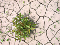 Green plant in cracked, dry soil Royalty Free Stock Photography