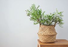 Green plant in a decorative basket in modern interior stock photos