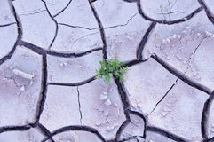 Green plant in dry mud in the desert Royalty Free Stock Image