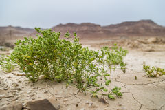 Green plant dryry Desert Soil Dead Sea Israel. Dry desert soil with green flower in an old river bed at the dead sea in Israel Stock Image