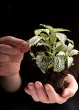 Green plant in female hands on black Royalty Free Stock Images