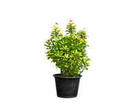 Green plant and flower in flowerpot on isolated background Royalty Free Stock Images