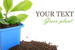 Green plant in a flower pot Royalty Free Stock Photography