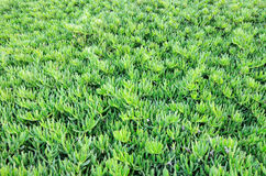 Green plant on a full background. Green succulent plants on a full background Royalty Free Stock Images