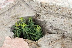 Green plant germinate on an old stone wall. Concept of overcomi. Ng obstacles and willpower Royalty Free Stock Photo