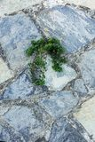 Green plant germinate on an old stone wall. Concept of overcomi. Ng obstacles and willpower Royalty Free Stock Images