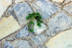 Green plant germinate on an old stone wall. Concept of overcomi. Ng obstacles and willpower royalty free stock photography