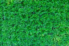 Green plant or Green leaves wall. Background Stock Photos