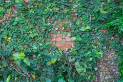Green plant or Green leaves wall. Background Stock Photography