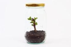 Green plant grow inside glass jar Royalty Free Stock Photo