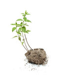 Green plant grow in the soil Royalty Free Stock Photos