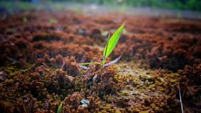 The Green Plant Grow Up From the Soil. The nature of plant growth Royalty Free Stock Images