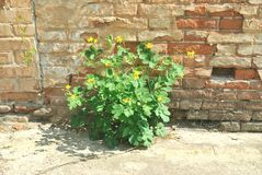 The green plant growing against brick wall Royalty Free Stock Photos