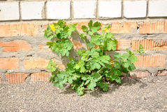 The green plant growing on the asphalt against bri Royalty Free Stock Photography