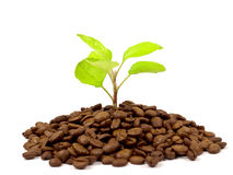 Green plant growing on coffee beans Royalty Free Stock Photo