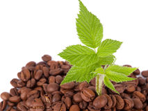 Green plant growing in a coffee beans Stock Photo