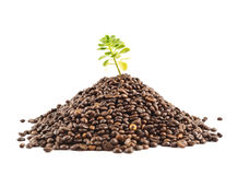 Green plant growing from the coffee beans Royalty Free Stock Photo