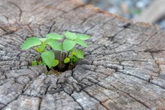 Green plant growing on dead tree trunk, green plant on stump, Young plant growing on stump - with copy space. stock photo