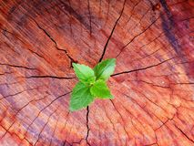 Plant growing through of trunk of tree stump royalty free stock photo