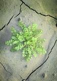 Green plant growing through dry cracked soil Royalty Free Stock Images