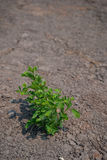 Green plant growing among the dry soil. Green plant growing among the brown dry soil Royalty Free Stock Image