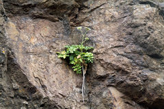 Green Plant Growing on the Face of a Rock Hillside Royalty Free Stock Photography