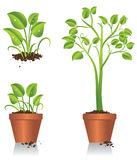 Green Plant Growing. Illustration of green plant showing growth Royalty Free Stock Image