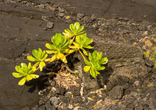 Green plant growing in lava rocks Stock Image