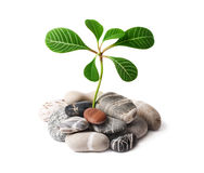 Green plant growing on naked stones. Royalty Free Stock Images