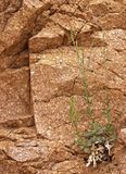 Green Plant Growing out of Barren Rock Face in Desert. Struggle/Defiance Stock Photography