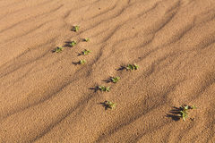 Green plant growing out of the desert sand. Royalty Free Stock Images