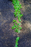Green plant growing out of floor concrete  with cracked abstract Stock Photography