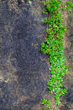 Green plant growing out of floor concrete  with cracked abstract Royalty Free Stock Images