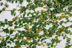 Green plant growing over white wall Stock Images
