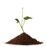 Green plant growing from a pile of soil Royalty Free Stock Image