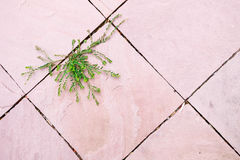 Green plant growing between pink surface concrete floor gap in beautiful shape. hope of life abstract background High-key. Royalty Free Stock Images