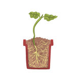 Green plant growing in a pot with ground soil, stage of growth, pot in a cross section vector Illustration. On a white background Stock Photography