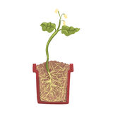 Green plant growing in a pot with ground soil, stage of growth, pot in a cross section vector Illustration. On a white background Royalty Free Stock Photography