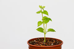 Green plant. Growing in a pot of soil stock photo