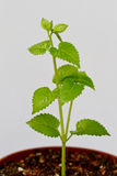Green plant. Growing in a pot of soil royalty free stock photos