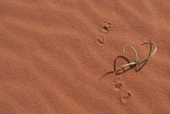 Green plant growing in red desert sand with shadows and prints royalty free stock photography