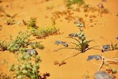 Green plant growing in Sahara Desert, Merzouga, Morocco Stock Photos