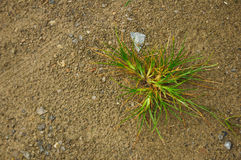 Green plant is growing in sand Royalty Free Stock Photos