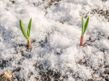 Green Plant Growing Through the Snow Stock Photos