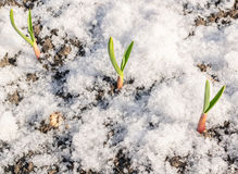 Green Plant Growing Through the Snow Stock Images