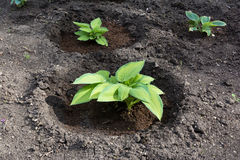 Green plant growing from soil Royalty Free Stock Photo