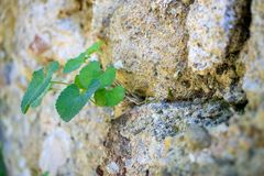 Green plant growing on a stone wall royalty free stock image